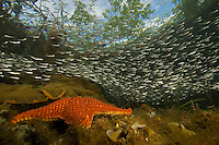 A school of silversides fish swim over a sea star and beneath the canopy of red mangrove trees on a Belize Cay.
