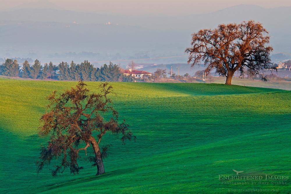 Sunrise light on Oak trees & green hills, Thomas Hill Farms, Paso Robles, San Luis Obispo County, California