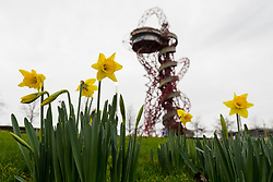 © Licensed to London News Pictures. 18/12/2018. London, UK.  Daffodils begin to bloom in front of the ArcelorMittal Orbit tower in the Queen Elizabeth Olympic Park in Stratford, east London today, as cold and stormy weather hits the rest of the country . Photo credit: Vickie Flores/LNP