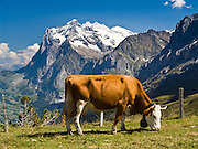 """The Wetterhorn or """"Weather Peak"""" (12,143 feet) rises above a cow grazing in the Alps at Kleine Scheidegg in the Berner Oberland, Switzerland, Europe. Grindelwald can be reached by train (Berner Oberland Bahn) from Interlaken. The Bernese Highlands are the upper part of Bern Canton. UNESCO lists """"Swiss Alps Jungfrau-Aletsch"""" as a World Heritage Area (2001, 2007)."""
