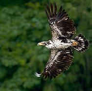Bald Eagle at Big Beef Creek on the Hood Canal of Puget Sound, Washington, USA