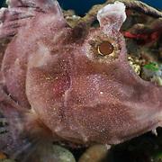 Portrait of a purple paddle-flap scorpionfish (Rhinopias eschmeyeri) in Ambon