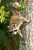 Raccoon (Procyon lotor) climbing tree, Arthur R Marshall National Wildlife Reserve - Loxahatchee, Florida, USA.    Photo: Peter