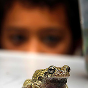 07/09/2015, MA:George Iker Richardson, 6, attentively watch a Grey Treefrong at his home in Bradford-Haverhill <br /> <br /> The Grey Treefrong is a master of camouflage, according Mass Audubon. <br /> Their gray-brown frog blends in with the tree bark on which it perches. Its call, heard from spring through summer, is a short, high-pitched trill