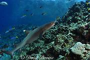 whitetip reef shark, Triaenodon, obesus, Shark Reef Marine Reserve, Beqa Passage, Viti Levu, Fiji ( South Pacific )