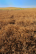 Yellow peas <br /> Webb<br /> Saskatchewan<br /> Canada