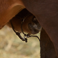 NOT BOURBON Foal