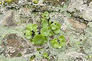 Navelwort, Penny-pies, Wall Pennywort, Umbilicus rupestris, Sierra de Andujar Natural Park, Sierra Morena, Andalucia, Spain, fleshy, perennial, edible flowering plant in the stonecrop family Crassulaceae (in the genus Umbilicus) so named for its umbilicate (navel-like) leaves
