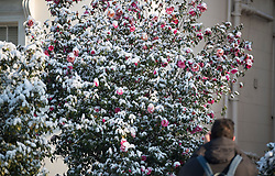 © Licensed to London News Pictures. 28/02/2018. London, UK. A man takes a picture of flowers covered in snow in Little Venice, West London following heavy snowfall last night. Large parts of the UK are experiencing disruption as 'Storm Emma' hits, following Russian a cold front earlier in the week named 'The Beast From The East'. Photo credit: Ben Cawthra/LNP