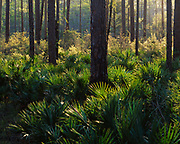 Saw-Palmetto, Seronoa repens, understory in southern pine forest, Mud Swamp New River Wilderness, Apalachicola National Forest, Florida.