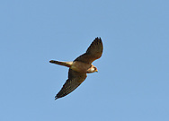 Red-footed Falcon - Falco verspertinus