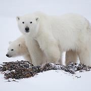 Polar Bear mother and cub in the kelp along the shores of Hudson Bay, Manitoba.