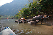 Kayaking on the Nam Song River near Vang Vieng, Laos. water buffalo.
