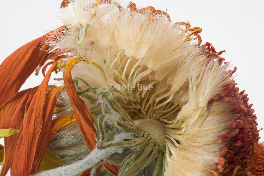 close up of seeds of a dried Gerbera flower