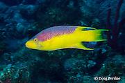 Spanish hogfish, Bodianus rufus, Turneffe Atoll, Belize, Central America ( Caribbean Sea )