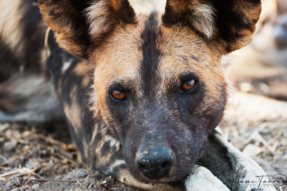 A low-angle portrait of an African wild dog female pack leader (Lycaon pictus) resting her head on her paws, Khwai River, Moremi Game Reserve,Botswana,Africa