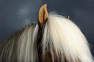 """Haflinger (Equus ferus caballus), parting of mane of a haflinger. Haflinger is a mountain pony descend from Tyrol. Fur is chestnut to a rich golden chestnut. Especially striking is his flax-colored to white-haired mane, also the tail. Haflingers have many uses, including endurance riding, dressage, equestrian vaulting and therapeutic riding programs. The horse is robust, cross-country and friendly nature. In Alpine region, Italy and France horses process into food. Rosshaupten, Bavaria, Germany.This picture is part of the series """"Creature's Coiffure""""..Haflinger (Equus ferus caballus) Scheitel einer Haflingermähne. Der Haflinger ist ein Gebirgspferd und kommt urspruenglich aus Tirol. Er besitzt ein rotbraunes bis goldenes Fell. Besonders auffaellig ist seine flachsfarbene bis weisse langhaarige Maehne, ebenso sein Schweif. Einsatzgebiet: Freizeitreiten, Therapiereiten, Zugpferde. Es ist robust, gelaendegaengig, nicht zu gross und von freundlichem Wesen. Im Alpenraum, in Italien und Frankreich wird er auch zu Lebensmitteln verarbeitet. Rosshaupten, Bayern, Deutschland.Dieses Bild ist Teil der Serie ,,Die Frisur der Kreatur"""""""