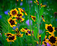 Backyard Wildflower Garden (Coreopsis, Tickseed). Image taken with a Fuji X-T3 camera and 200 mm f/2 lens + 1.4x teleconverter