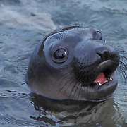 Northern Elephant Seal, (Mirounga angustirostris) Young seal in tidal pool. Baja, Mexico.
