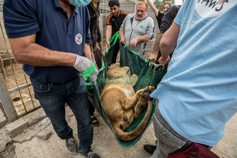 March 30, 2017 - Mosul, Nineveh Province, Iraq - SIMBA is carried from the zoo by members of Four Paws International, an Austria headquartered animal rescue organization. A lion and a bear, just rescued from Mosul's zoo, are prepared to fly to safety outside Iraq and into Erbil, Kurdistan. The two animals nearly starved to death in their cages while battle raged around them in the Iraqi city earlier this year. Several other animals at the zoo died from neglect but these two were finally rescued by the animal charity Four Paws. (Credit Image: © Gabriel Romero via ZUMA Wire)
