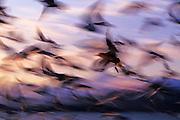 Image of Pacific gulls (Larus pacificus) in flight at sunrise on the Kenai Peninsula, Alaska, Pacific Northwest by Randy Wells