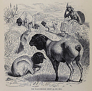 Black Headed Sheep From the book ' Royal Natural History ' Volume 2 Edited by Richard Lydekker, Published in London by Frederick Warne & Co in 1893-1894
