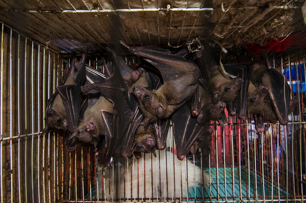 Fruit Bat in Animal market<br /> Jatinegara Animal market<br /> Jakarta<br /> Indonesia