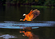 Black-collard hawk (Busarellus nigricollis) catching fish in Rio Claro, Pantanal, Brazil.