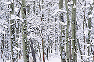 Snow-covered aspen trees in winter near South Lake Tahoe, California