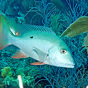 Mutton Snapper drift above reefs and sand between reefs in Tropical West Atlantic; picture taken Little Cayman.