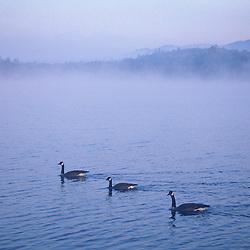 Canada Geese, Branta canadensis. Umbagog Lake.  Northern Forest.  Errol, NH