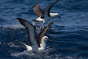 Indian Yellow-nosed Albatross (Thalassarche carteri)<br /> South of South Africa<br /> Western Cape<br /> South Africa<br /> 60 miles south of Gansbaai