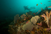 """Lars Abromeit diving on a Coiba seamount covered with sea fans and soft corals and with<br />Mexican Hogfish (Bodianus diplotaenia) and other fish<br /><br />Contreras Islands, N of Brancanco Isl.<br />Coiba National Park, Panama<br />Tropical Eastern Pacific Ocean<br /><br />""""Roller Coaster"""" dive site"""