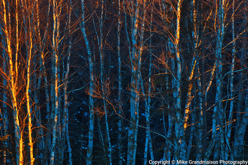 Sunrise light on birch trees<br />Hearst<br />Ontario<br />Canada