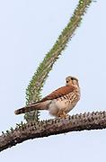 Madagascar kestrel (Falco newtoni).