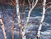 Birches along the Peabody River, White Mountains, New Hampshire, 1996