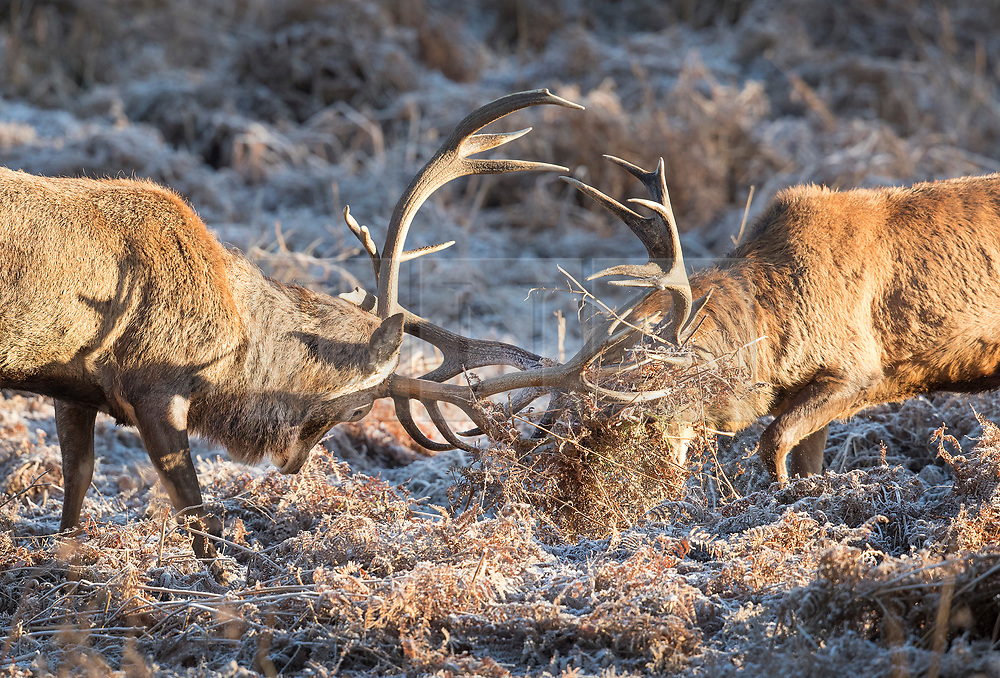 © Licensed to London News Pictures. 28/12/2017. London, UK. Stags lock antlers in frost covered bracken in Richmond Park. Tonight is predicted to be the coldest night of the year with temperatures as low as minus 15 °C in some parts of the UK. Photo credit: Peter Macdiarmid/LNP