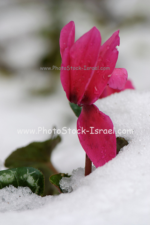 close up of a Persian Violet Cyclamen persicum looming out of the snow a concept of growth and renewal