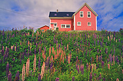 Lupines (Lupinus sp.) in front of house<br />