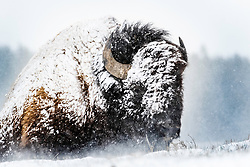 Yellowstone on a blustery spring day, a bull bison puts his back to the wind remembering yesterdays promise of summer.