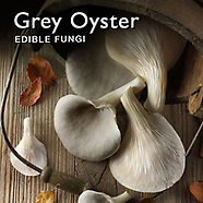 Food Pictures of Fresh Grey Oyster  mushrooms. Food Photos, Images.