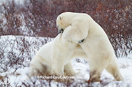 01874-12512 Two Polar bears (Ursus maritimus) sparring, Churchill Wildlife Management Area, Churchill, MB Canada