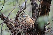 Squacco heron, Ardeola ralloides, Danube delta rewilding area, Romania