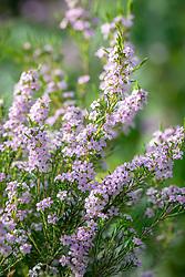 Coleonema pulchellum 'Pink Fountain' syn. Diosma hirsuta 'Pink Fountain' - Confetti bush.
