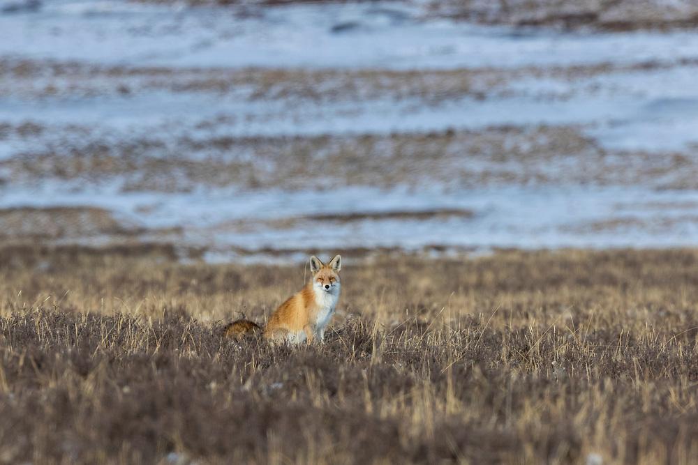 Red fox, Vulpes vulpes, sitting on the ground, chi hu, 赤狐,China, Sichuan Province, Garze Prefecture, Serxu County.