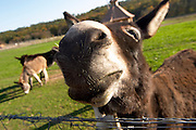 Donkeys asses by a fence at the farm, very curious of the photographer sticking their big noses up to the camera making a funny perspective and distorted big face. Ferme de Biorne duck and fowl farm Dordogne France