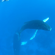 Humpback Whale (Megaptera novaeangliae) mother and a calf with a snorkeler. Caribbean Ocean.