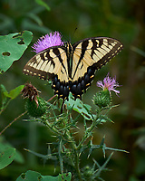 Eastern Swallowtail Butterfly on a Thistle Flower. Image taken with a Leica SL2 camera and 90-280 mm lens