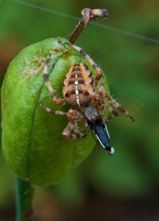 Fat Spider, Castine, Maine, US