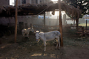 Mules await the morning feed in the village of Bairat on the West Bank of Luxor, Nile Valley, Egypt.